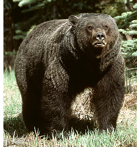 angry_grizzly_bear